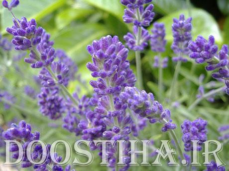 خواص و فواید درمانی گیاه اسطوخودوس