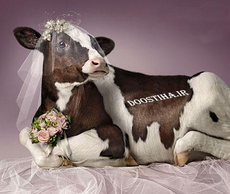خوشگل ترین عروس های جهان