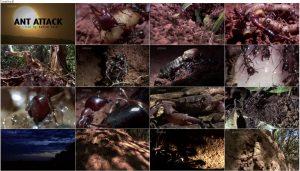 BBC Natural World: Ant Attack 2006