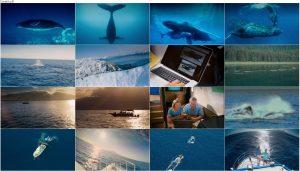 دانلود مستند نهنگ های کوهان دار Humpback Whales 2015