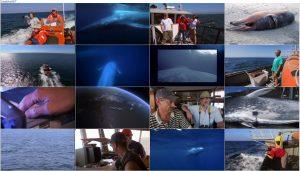 دانلود مستند قلمرو نهنگ آبی Kingdom of the Blue Whale 2009